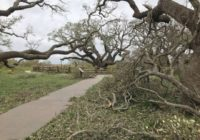 1,000-year-old Texas oak tree survives Hurricane Harvey – the 500-year storm