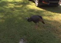 Turkey displaced from Hurricane Florence runs 'afoul' in Fayetteville man's yard
