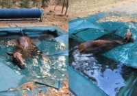 Horse hid in pool to survive California wildfires