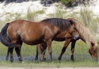 North Carolina wild horse manager says 28 horses died in Hurricane Dorian