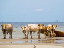 Cows, washed off Cedar Island by hurricane, found alive