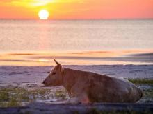 Cows on Outer Banks