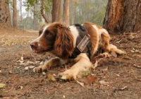 Meet one of the dogs saving koalas from Australian wildfires