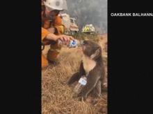 Raw: Firefighter helps koala drink from water bottle