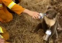 Steve Irwin's family saves over 90,000 animals, including many injured in Australia wildfires