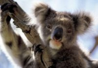 Houston Zoo donates $5,000 to help Australian animals hurt by wildfires