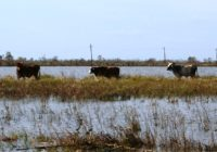 Livestock Safety Paramount During Flooding